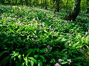 Flowers. Ventana beech forest. Teverga. Asturias. Spain.
