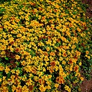 Sedum kamtschaticum. Mass of yellow flowers on bush W Broadhurst.