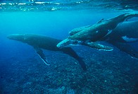 Humpback whales (Megaptera novaeangliae) with a calf (upper right). Calves are four to five metres long when they are born and they suckle for about f...