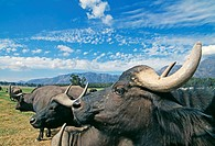 African buffaloes. Herd of African buffaloes (Syncerus caffer) on a savannah. These large, cow- like animals reach heights of 1.5 metres and can weigh...
