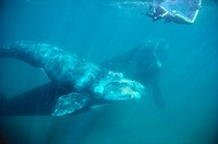 Eubalaena australis. Southern Right Whale calf with snorkeler. Golfo Nuevo. Patagonia. Argentina.