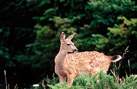 Blacktail deer fawn. Willamette National Forest. Oregon. USA