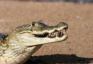 Spectacled Caiman (Caiman crocodilus). Venezuela
