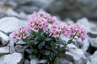 thlaspi rotundifolium flowers, arera mt., italy