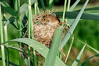 Harvest Mouse (Micromys minutus). France