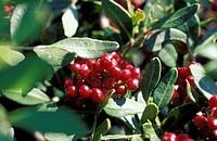 pistacia lentiscus fruits, tremiti isles, italy