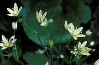 saxifraga rotundifolia flowers, ornica, italy