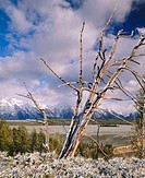 Fresh snow on pine snag from Snake River overlook, Teton Mountain Range. Grand Teton National Park. Teton County, Wyoming. USA