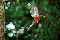 Male resplendent quetzal (Pharomachrus mocinno) flying from his nest in the tropical cloud forest of Costa Rica.