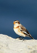 Snow Bunting (Plectrophenax nivalus) in winter plumage, photographed in January in Connecticut.