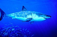 Male great white shark (Carcharodon carcharias) showing disruptive coloration, sun reflecting on its body, and clearly visible fins and gills. The sha...