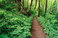 Trail wanders through a lush forest in Tryon Creek State Park. Oregon. USA