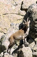 Spanish ibex (Capra hispanica). Gredos. Spain.