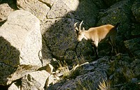 Spanish ibex (Capra hispanica). Gredos. Spain