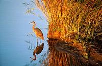 Goliath heron (Ardea goliath). South Africa.