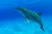 Caribbean, Bahamas, Bahama Bank, Atlantic Bottlenose Dolphin, Tursiops truncatus