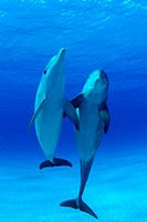 Caribbean, Bahamas, Bottlenose Dolphin, tursiops truncatus [For use up to 13x20 only]