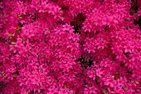 profusion of pink flowers