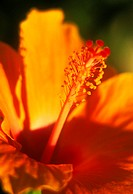 Extreme close-up, center of an orange hibiscus with light pink center, soft focus