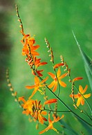 Tritonia crocosmiflora flowers, orange, growing in the wild, blurry green background (Tritonia pottsii X Crocosma aurea)