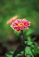 Single bright pink zinnia with yellow center, close-up
