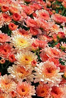 Mixed colored chrysanthemums with dark edges and centers, field