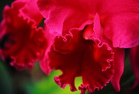 Hawaii, Close-up of cattleya orchid, purple with darker center on plant green blurry background