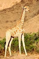 Giraffe (Giraffa camelopardalis). Hoanib river. Namibia.