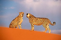 Cheetah, two females (Acinonyx jubatus) in captivity. Game Farm. Namibia