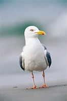 Herring gull (Larus argentatus). Island of Helgoland. Germany