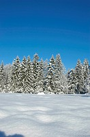 A pine forest in winter