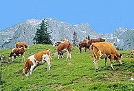Cows on the alp, alpine pastureland. Salzburg county, Austria