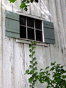 A vine grows up the side of an old white barn toward the window