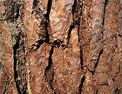 Scots pine. Close-up of the bark of a Scots pine (Pinus sylvestris).