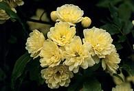 Rose flowers (Rosa banksiae ´Lutea´).