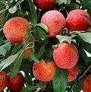 Plums. Rosemary plums, Prunus domestica,  on a branch of a tree. Plums are cultivated in orchards in the temperate regions of the world for their hard...