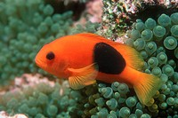 Saddle anemonefish (Amphiprion ephippium) by its host anemone. This fish, also known as the red saddleback anemonefish, is found on the coral reefs of...