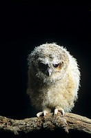 Tawny owl chick (Strix aluco) perched on a branch. The tawny owl lays between two and four eggs in early spring. These are incubated for a month. The ...