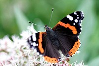 Butterfly, Admiral (Vanessa atalanta)
