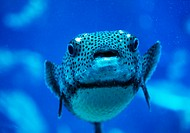 Tropical fish (Puff fish) (thumbnail)