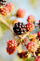 Wild blackberries. Majorca. Balearic Islands. Spain