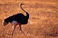 Ostrich-male. Ngorongoro, Tanzania