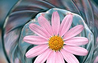 Pink daisy 'Comet Pink' (Argyranthemum frutescens) floating on water. Coos Bay. Oregon. USA
