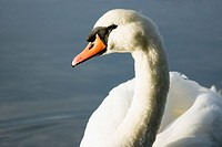 Mute swan (Cygnus olor) by the shore of Roberts Bay. Sidney, British Columbia, Canada