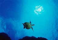 Low Angle Shot of a Swimming Loggerhead Turtle