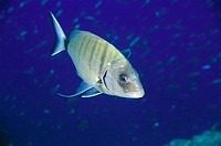 White Sea Bream (Diplodus sargus), Mediterranean Sea