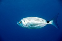 Saddled Seabream (Oblada melanura), Mediterranean sea
