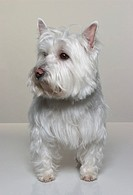 Portrait of West Highland White Terrier (Westie)
