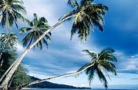 Overhanging palm tree near Panaluu State Park. Oahu. Hawaii. USA.