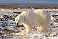 Adult male Polar Bear (Ursus maritimus) in fresh snow near Churchill, Manitoba, Canada.